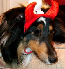 Angel or Devil, you decide (hugsRgood) Tags: shetlandsheepdogs bella dog angel devil pets dogs sheltie shelties hugsrgood shetlandsheepdog fuzzy furry animals tag1 tag2 tag3 taggedout