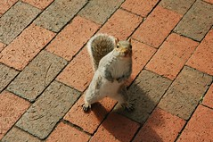 Tudo bem ? - How are you doing today ? (RobStelling) Tags: squirrel esquilo lafayettepark washington