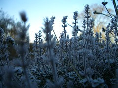 frost and thyme