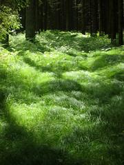 flowing gras (rootsclubrino) Tags: wald wood green grn farn gras