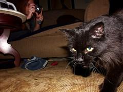 Out Of The Frying Pan Into The Fire!!!! (mightyquinninwky) Tags: meranda auntmccool kodakdx7360inauntmccoolshand minolta dimagea1 lexingtonky fayettecountyky kentucky fontaineroad laptopbag cat kitten cute backpack rug fluffy