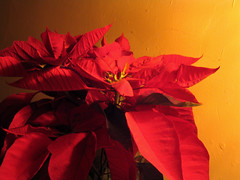 Nochebuena / Poinsettia (.::::. Irving .::::.) Tags: 2005 xmas city winter red plant flower home yellow night canon mexico navidad noche december poinsettia flor powershot tepic nayarit powershota75 december2005 invierno lovepeace dec2005 diciembre christmasday nochebuena xmasday poinsettiaplant 100vistas irvmark