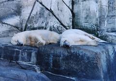 danish zoo (fjbrenes) Tags: zoo animals polar bears