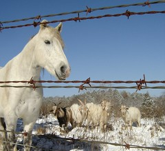 Warm in the sunhine (kt.db) Tags: kosomo winter cold snow horse goats goat billy fence barbwire blue sky white sunshine morning