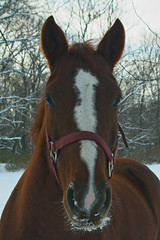 Eye to Eye (Lyle C) Tags: horse snow face stallion d50 indiana