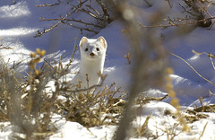 Long Tail Weasel or Ermine (Bonnie Bowne) Tags: snow nature animal wow ermine wildlife naturelover rockymountainnp wildlifenorthamerica wildlifephotography shorttailweasel nikonstunninggallery specanimal