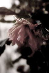 The Fading of Colors (Airchild) Tags: wilt fade flower dahlia balcony