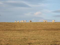 Grass Sheep Sky (ebygomm) Tags: sheep december2005 2005 brimhamrocks nidderdaleway walking deleteme deleteme2 deleteme3 deleteme4 deleteme5 deleteme6 deleteme7 deleteme8 deleteme9 deleteme10