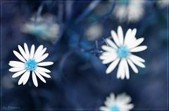 Blue daisy flowers (Al Fassam) Tags: flowers blue light shadow white black macro closeup canon amazing dof shine bokeh daisy faves noise canon100macrolens