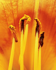 five anthers stand tall (Brenda Anderson) Tags: orange macro daylily pollen fz5 flowerpower anthers curiouskiwi panasonicfz5 utatafeature ccmpclosencounter brendaanderson inagroup utata:memberpageskin=ba utata:memberpagelayout=test utata:title=show curiouskiwi:posted=2005
