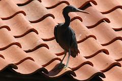 Grumpy Egret on a Hot Tile Roof (bocavermelha-l.b.) Tags: d70s aves garça pacificreefegret darkmorph 80200mmf28d egrettasacra ornitologia demigrettasacra easternreefheron bluereefegret reefheron dimorphic tc14e garçadosrecifesoriental garzadelosarrecifes garcetacosteraoriental matukumoana inbali pacificreefheron foundinnusadua south–china–sea inindonesia wildlifebali