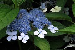 *Lace Hydrangea with Bees (nfoto) Tags: blue painterly flower macro nature fleur closeup watercolor fuzzy lace bees g5 hydrangea effect f4 floraandfauna blueflower nfoto beesonflower inmedicalcenterpermanentdisplay