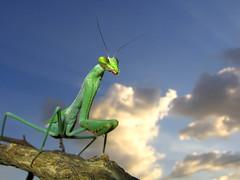 Oxyopsis media (Techuser) Tags: macro nature topv111 mantis insect poser top20animalpix backyard close small praying posing top20hallfame mantidae mantids specanimal animalkingdomelite specanimaliconoftheweek