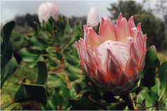 King Protea (open) (roddh) Tags: pink flowers flower film topv111 hawaii maui protea proteaceae roddh