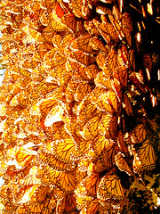 A carpet of Monarchs (Mexicanwave) Tags: winter orange nature wow wonder mexico ilovenature wings butterflies numbers migration delicate mariposas michoacan monarchs sierrachincua monarcas