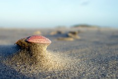 sphinx III (broterham) Tags: pink brown colour macro beach nature netherlands dutch sphinx terschelling waddeneiland sand nederland shell noordzee northsea friesland frysln winderosion skylge