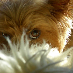 2005.12.10 Randy's eye close up (shinichiro*) Tags: 2005 15fav dog love yorkie japan closeup 1025fav 510fav 100v blog interestingness order yorkshire adorable 100v10f casio terrier 25 getty randy 1210 yorkshireterrier 200v crazyshin urfavspets 300v blueribbonwinner exs2 5fv exp072 dogsall order500 order20101106 73597346