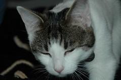 DSC_4562 (judey) Tags: twinkle cats kitten