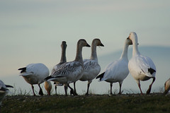 group IMG_8560.jpg (wildorcaimages) Tags: snowgeese birds