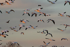 up up and away IMG_8811.jpg (wildorcaimages) Tags: snowgeese birds