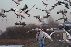 walker IMG_8641.jpg (wildorcaimages) Tags: snowgeese birds