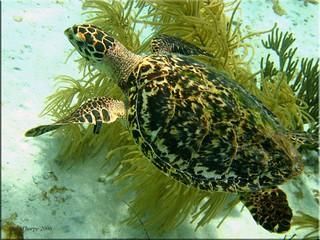 Hawks Bill Turtle, Bonaire