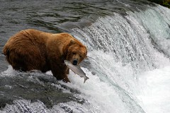 Brooks Falls Bear (RangerRoy) Tags: bear park alaska river waterfall salmon brooksfalls katmai brookscamp