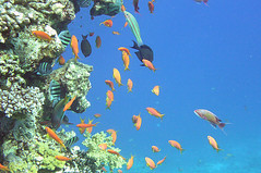 Coral Reef (Sam and Ian) Tags: sea fish water coral underwater snorkel redsea egypt sharmelsheikh snorkeling snorkelling reef sharm tang coralreef anthias damselfish surgeonfish naamabay sargeantmajor rainbowwrasse top20fish top20fish20
