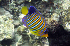 Royal angelfish (Sam and Ian) Tags: sea fish water underwater snorkel redsea egypt sharmelsheikh royal snorkeling snorkelling angelfish sharm naamabay top20fish