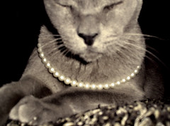 Braveheart (miss cleopatra) Tags: 15fav cat wow pearls burmese braveheart brume flickrcat talkingfilm flickrstar