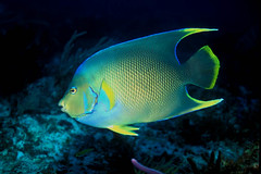 Blue Angelfish (laszlo-photo) Tags: blue fish mexico playadelcarmen scuba reef angelfish laszlo ilyes