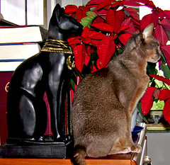 Sita and Bast (key lime pie yumyum) Tags: christmas red holiday black cat bast egyptian abyssinian poinsietta