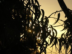 eucalyptus (Beautiful wwworld) Tags: sunlight tree lorne