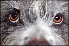 Are you lookin' at me? - 6040 (Edgar Thissen) Tags: portrait dog pet eye dogs animal closeup eyes top20dogpix top20dogpixhalloffame 5bestdogs bully pgphotography mioritic edgarthissen abigfave
