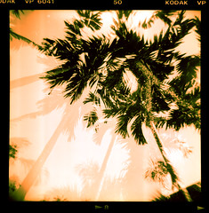 palm (Stitch) Tags: trees 120 film sepia mediumformat holga lomo kodak doubleexposure philippines palm expired weeklysurvivor vignettes verichrome weeklyblog32