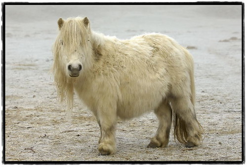 a very shaggy cream coloured Shetland pony with a massive forelock