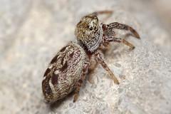 Unknown Jumper On A Rock (#2) (Doundounba) Tags: macro spider montral pentax qubec jumpingspider araigne k3 salticidae dcr250 raynox salticide vivitarseries1105mmf25macro erismilitaris parcnaturedellebizard erissp