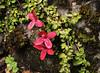 Asteranthera ovata (Estrellita) (Vive Naturaleza) Tags: flor bosque estrellita ovata panguipulli choshuenco asteranthera