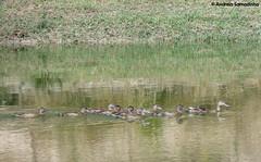 Patos Bravos (Anas platyrhynchos) (AndreiaFMS) Tags: water gua mom duck bravo ducks son pato barragem anasplatyrhynchos patos pata selvagem bando crias patinhos selvagens patobravo