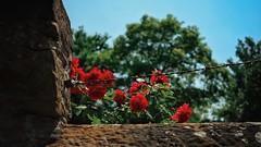 Roses (andersdenkend) Tags: trees roses sky cinema detail nature wall corner blurry fuji dof bokeh oldschool depthoffield barbedwire fujifilm rosen cinematic vignetting 169 natureycrap xpro1 vsco stacheldrat fujinonxf27mmf28