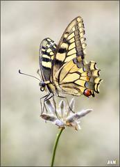 Agresiva (- JAM -) Tags: naturaleza flower macro nature insect nikon flor explore jam mariposas d800 insecto macrofotografia explored lepidopteros juanadradas