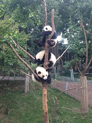 "Les pandas du ""Research Base of the Giant Panda"""