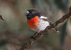 scarlet robin (Petroica boodang)-3316 (rawshorty) Tags: birds australia canberra act rawshorty