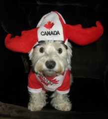 "6/12B ~ ""Riley is ready for the Canada Day Parade"" (ellenc995) Tags: birthday riley westie parade westhighlandwhiteterrier canadaday redandwhite july1 ruby3 coth supershot fantasticnature pet100 rubyphotographer yearofholidays challengeclub coth5 thesunshinegroup sunrays5 12monthsfordogs15"