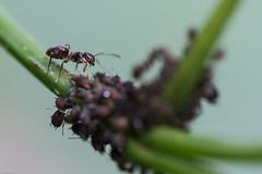 fourmi et son levage de pucerons.jpg (Sylvain Bdard) Tags: nature ant insects aphid fourmi puceron commensalism commensalisme