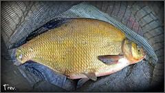 Common Bream (Abramis brama) (Trev Grant) Tags: uk tim birmingham bream 2015 commonbream abramisbrama pypehayespark thefishpond 27thjune2015