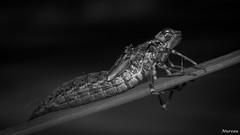 Libellule / Odonate Exuvie (Mureau A) Tags: white black macro nikon dragonfly alien micro 105 d800 odonata larve exuvie