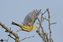 Yellowhammer (Thomas Winstone) Tags: uk trees wild sky sun bird nature birds southwales canon photography wildlife air feathers aves bbc 7d postcards oiseau mk avian brynmawr sping birdwatcher yellowhammer 2 canon300mmf28 goldwildlife distinguishedpictures birdperfect canon7dmark2