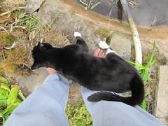 I want to help catch frogs, mum ... (wallygrom) Tags: england cats cat pond westsussex mygarden gromit eastpreston pondrestoration july2015 mygarden2015