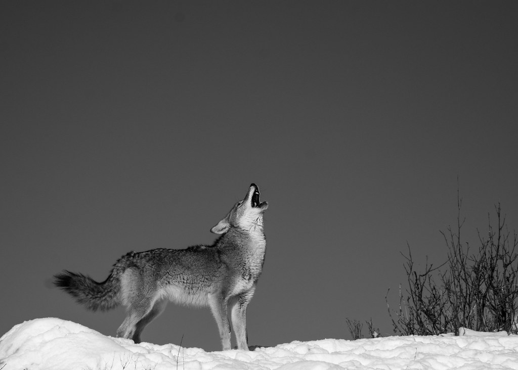 The World's Best Photos of coyote and howling - Flickr ...  The World's...